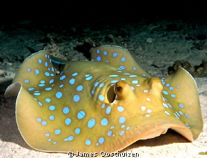 Blue spotted stingray on a night dive by James Oosthuizen 